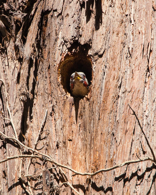 Green Woodpecker Peeking from Nest
