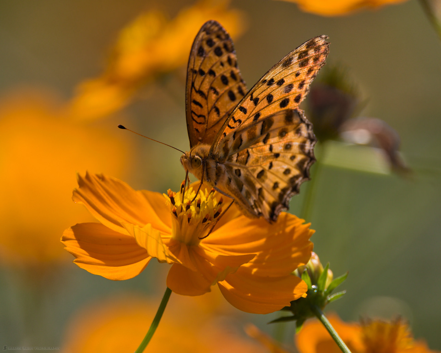 Lesser Marbled Fritillary on Golden Cosmos