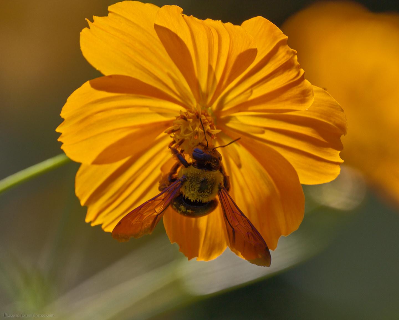 Carpenter Bee on Golden Cosmos